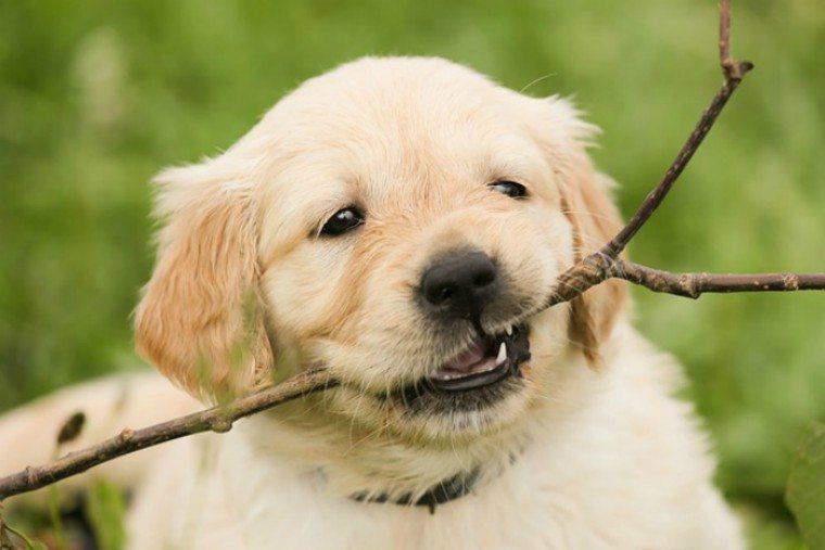 Labrador puppy chews on a stick